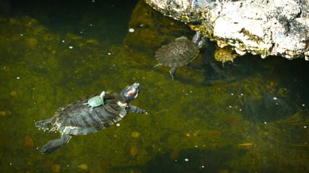 scripta : FullHD video - Baby turtle sits motionless on its mothers shell as she floats on the surface of a pond.