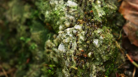 земной : Huge swarm of Hospitalitermes hospitalis termites. known for their processional migration columns. on a Lichen harvesting expedition in the rainforest. Video FullHD