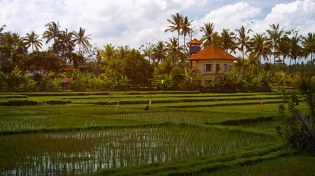 plantio : Beautiful. modern. two story home stands in amongst the shallow. stagnant water of lowland rice paddies on a plantation in Bali. Indonesia. Video 4k