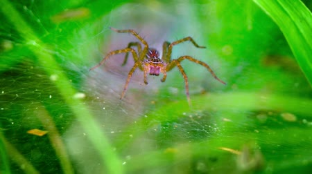 spider web : Funnel weaver spider of indeterminate spiecies stands. in ambush. waiting for prey. at the mouth of his tunnel. Video 1080p Stock Footage
