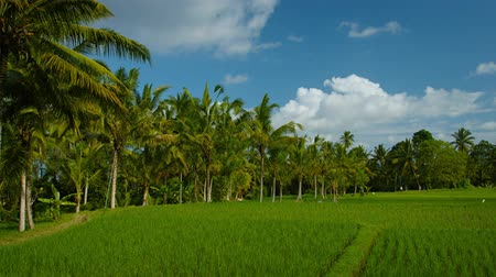 indonesia : Coconut palm trees border the rice fields on a plantation in Bali. Indonesia. with puffy clouds in a bright. blue. tropical sky. Video 3840x2160