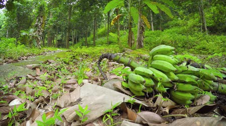 engineered : Cluster of unripe bananas. felled from a nearby tree. lying on the ground beside an engineered nature trail in a tropical. Southeast Asian. wilderness area. with sound. Stock Footage