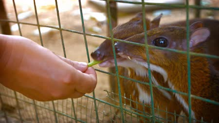 desenli : Tourist. hand feeding a pair of tiny chevrotains through the wire mesh of their habitat enclosure at a popular petting zoo. Video UltraHD