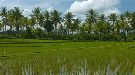 stagnant : Coconut palm trees border the edges of lowland rice paddies. with rows of young rice stalks planted in shallow. stagnant water on a plantation in Southeast Asia. Video 3840x2160