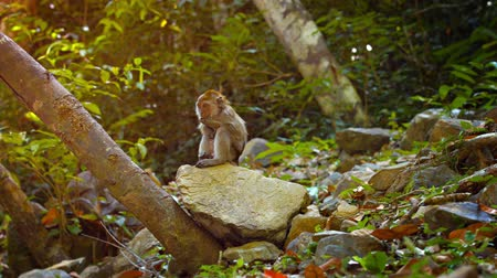 macaca fascicularis : Adorable. long tailed macaque monkey. scratches himself as he sits on a big rock in a popular nature park. 4k video