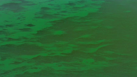 unbalanced : Bright green algal bloom floating on the surface of the water. caused by eutrophication. or polution in the form of Phosphates from fertilizers or chemical detergent. Video 4k