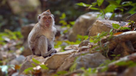 macaca fascicularis : Cute and curious monkey. sitting on a rock and chewing on something as he plays with sticks. 4k video