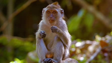 macaca fascicularis : Abstract video of a cute monkey. sitting on a rock in a nature park and scratching himself. Video FullHD