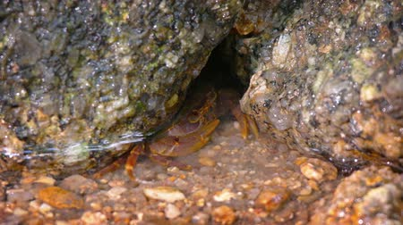 crevice : Extreme closeup of a tiny. colorful crab. excavating coarse sand and rocks from a crevice to hide himself under the shallow water of a pool. Video 4k