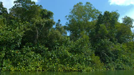 bitkiler : Trees. vines and other dense vegetation. crowding along the waters edge in competition for sunlight and water in Southeast Asia. Video 4k Stok Video
