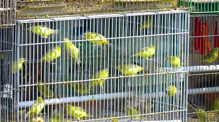 dowel : Little yellow birds in a cage. Indonesia. Bali island. FullHD video