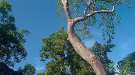 fatörzs : Enormous. old tree stands against a clear blue sky. anchored by its roots into the roof of an ancient temple ruin in Angkor. Cambodia. Video UltraHD Stock mozgókép