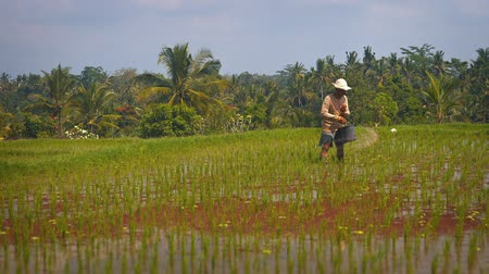stagnant : BALI. INDONESIA - CIRCA JUL 2015: Balinese farm hand working in the rice paddies on a plantation in Bali. Indonesia. FullHD video Stock Footage