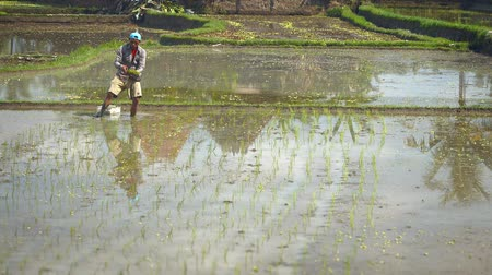 stagnant : BALI. INDONESIA - CIRCA JUL 2015: Balinese laborer planting rice in the standing water of a paddy. Video 1920x1080