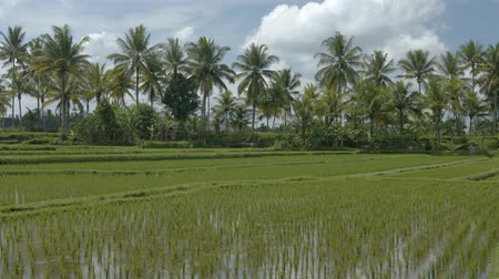 stagnant : Gentle breeze stirs the tops of coconut pams over a lowland rice paddy on a farm in Bali. Indonesia. Ungraded RAW footage Stock Footage