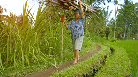 stagnant : UBUD. BALI. INDONESIA - CIRCA AUG 2015: Local resident carries firewood on his head on the edge of a rice field Stock Footage
