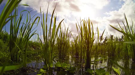 stagnant : Growing rice. Unusual view of herons eyes (POV). FullHD video Stock Footage