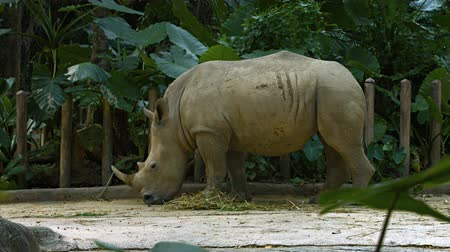 ceratotherium simum simum : Enormous white rhinoceros munching peacefully on hay in his habitat enclosure at a popular pubic zoo. UltraHD 4k footage Stock Footage
