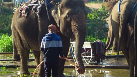 ivászat : DALAT. VIETNAM - CIRCA JAN 2016: Mature. domesticated elephant drinking water from a hose in Dalat. Vietnam. FullHD 1080p footage