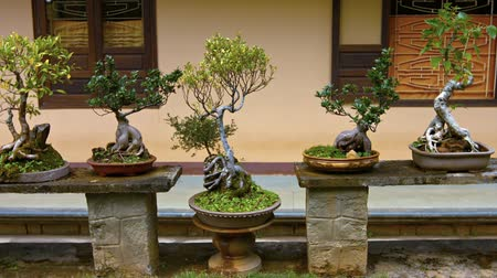 аккуратный : Collection of assorted bonsai trees. precisely trimmed and shaped. displayed in a private garden in Vietnam. FullHD 1080p footage