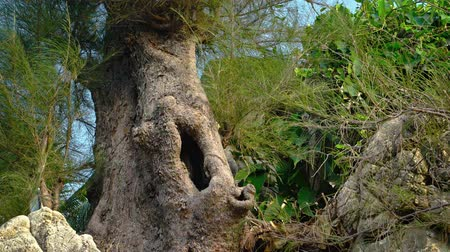 fatörzs : Hollow trunk of an Australian pine tree provides an eerie site in this coastal wilderness area of Southeast Asia.