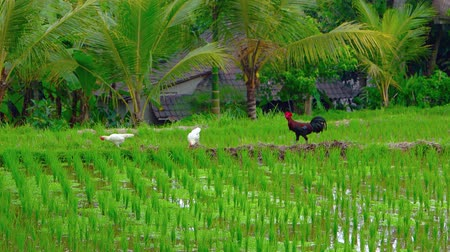 kultúra : Two hens and a rooster forage and strut over the dams dividing paddies of a traditional Balinese rice plantation. Video 4k 2160p