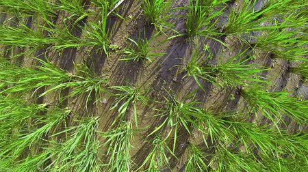 palce : Unique perspective shot of a rice paddys clustered stalks in shallow water taken from inches above the tallest leaves. Video 1080p