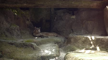 állatkert : Mature mountain lion pants as it rests in the shade in its habitat enclosure at a popular public zoo.