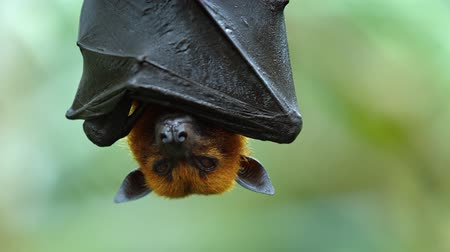 kalong : Adorable Malaysian flying fox hangs upside down.wrapped in his own wings for a nap in his habitat. Stock Footage