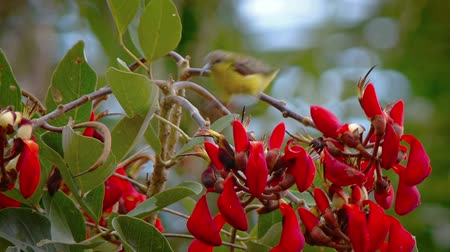 sunbird : Beautiful sunbird with its bright yellow plumage eating nectar from red tropical flowers on a tree in Southeast Asia. Stock Footage