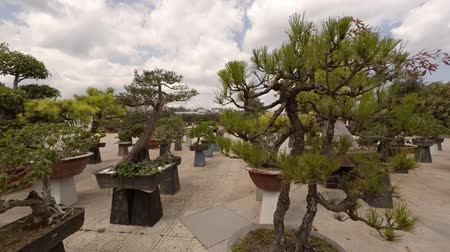 аккуратный : DALAT. VIETNAM - CIRCA JAN 2016: Bonsai trees on pedestals at Flower Garden Park in Dalat. Vietnam. Video 4k