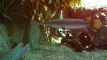 torpedo : Alligator gar from North America. UltraHD 2160p 4k video