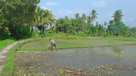 stagnant : UBUD. BALI. INDONESIA - CIRCA JUL 2015: Local Laborer Working in a Rice Paddy in the Sun. 4k UltraHD footage