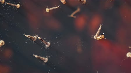 yelow : Mosquito larvae in a pool close-up. UltraHD 2160p 4k video Stock Footage