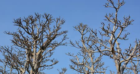 spící : Thick. gnarled branches and trunks of leafless trees stand against a bold. blue. sunny sky.