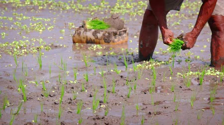 stagnant : Local man stands in the deep. sticky. muddy water of a rice paddy. planting young shoots of rice plants in neat rows. on a farm in Bali. Indonesia. Stock Footage