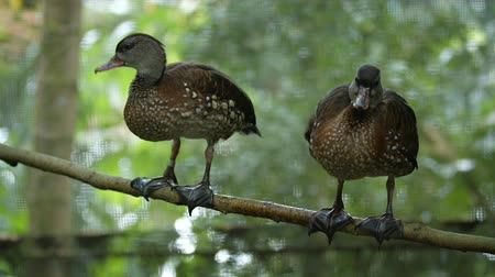 benekli : Pair of cute. brown. domestic ducks. with white speckled feathers. perched side by side on a tree branch.
