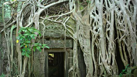 запутанный : Intertwining roots of a tropical tree. clinging to the exterior surface of Ta Prohm. an ancient. stone temple ruin in Cambodia.