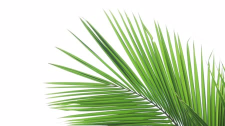homlokzatok : Tropical coconut palm fronts sway in a gentle breeze. isolated against the white background of an overcast sky.