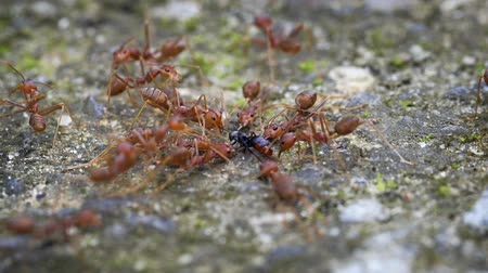 restraining : Group of weaver ants in extreme closeup. holding down and milking another ant for its honeydew. an important food source for them. Stock Footage