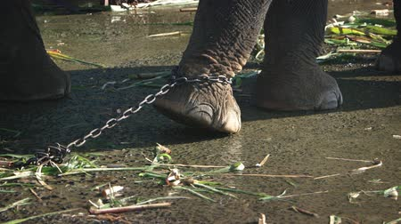 sürgün : Chain at leg of an elephant in captivity. 4k footage Stok Video