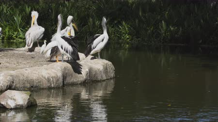 kolonie : Pod of Australian pelicans. perched on a rocky outcrop overlooking the pond in their habitat enclosure at a popular. public zoo. UltraHD 4k footage
