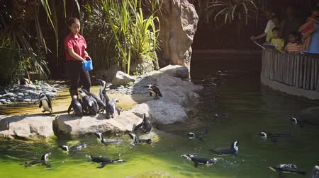waddling : SINGAPORE - CIRCA DEC 2016: Animal handler feeds penguins at Jurong Bird Park as visitors watch.