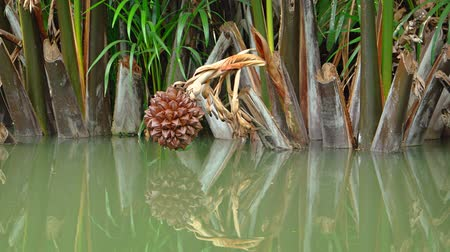 stagnant : Strange fruit of a wild Nipa palm. hanging low over. and reflected in. stagnant. green water. FullHD 1080p video