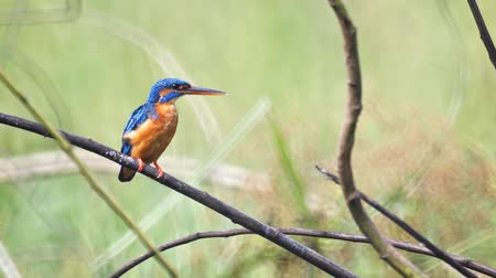 nó : Wild common kingfisher. with its distinctive blue and orange plumage and long beak. perched on a branch in Sri Lanka. 1920x1080 stock footage Vídeos