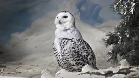 desenli : Solitary. snowy owl. perched in artificial snow in his realistic habitat enclosure at a popular. public aviary. FullHD footage Stok Video