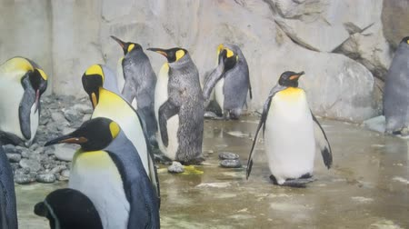 waddling : Group of mature emperor penguins. gathered amongst the rocks in their mixed habitat enclosure at a popular. public zoo. FullHD footage