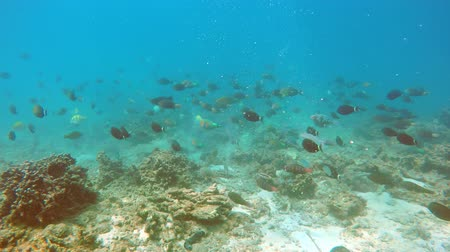 podwodny swiat : Big school of colorful. wild tropical fish of various types. swarming on a shallow coral reef in southern Thailand. FullHD video Wideo
