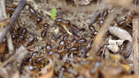 subterranean : Many. tiny. subterranean termites. in extreme closeup. foraging on the surface soil amongst twigs and dry leaves. 1920x1080 stock footage