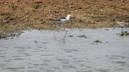 birding tours : Two pied stilts. wading and foraging in the shallow water of a lake inside Yala National Park in Sri Lanka. UltraHD stock footage